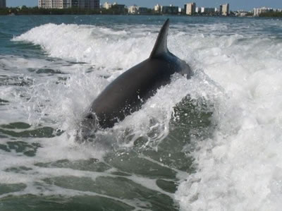 dolphin photo naples florida
