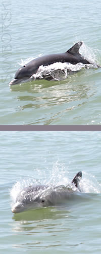 pictures of dolphins in naples florida bonita springs estero bay bonitabay