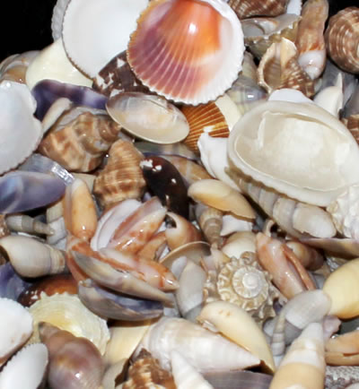 beach shells shelling in naples florida