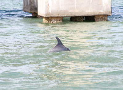 dolphin on a private charter in naples florida