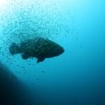 goliath grouper, dive the gulf of mexico