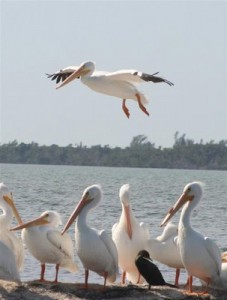 white pelicans in Ft. Myers Beach